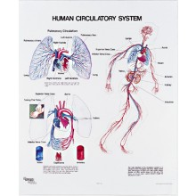 Human Circulatory System, 1091-10 Denoyer Geppert
