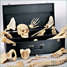 Compartmented Case safeguards your disarticulated skeleton under lock and key, SC63 Denoyer Geppert