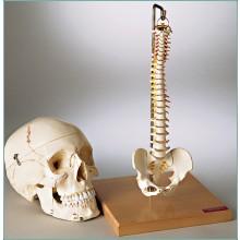 Premier™ Flexible Mini-Spine with Pelvis, SP60 Denoyer Geppert